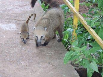 Maman coati et son petit. Coatis curieux, chapardeurs et gourmands. Les provisions des touristes sont des proies de choix et ne résistent pas longtemps à l'appétit de ces petits mammifères.