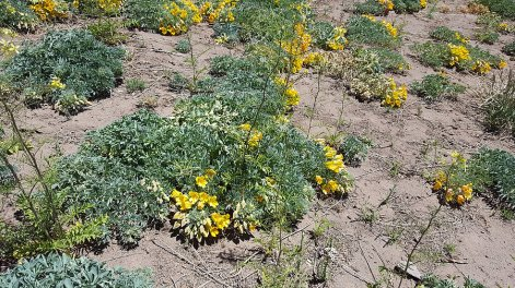 Un exemple de végétation andine : Jaborasa Pacihiata