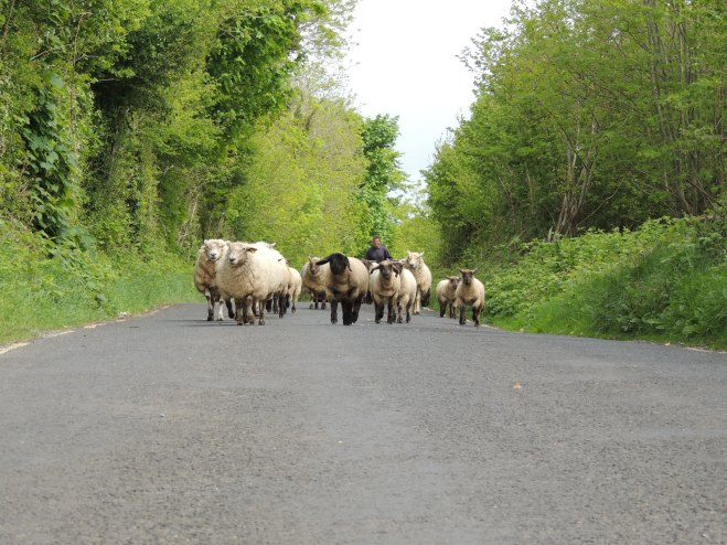 moutons route irlande