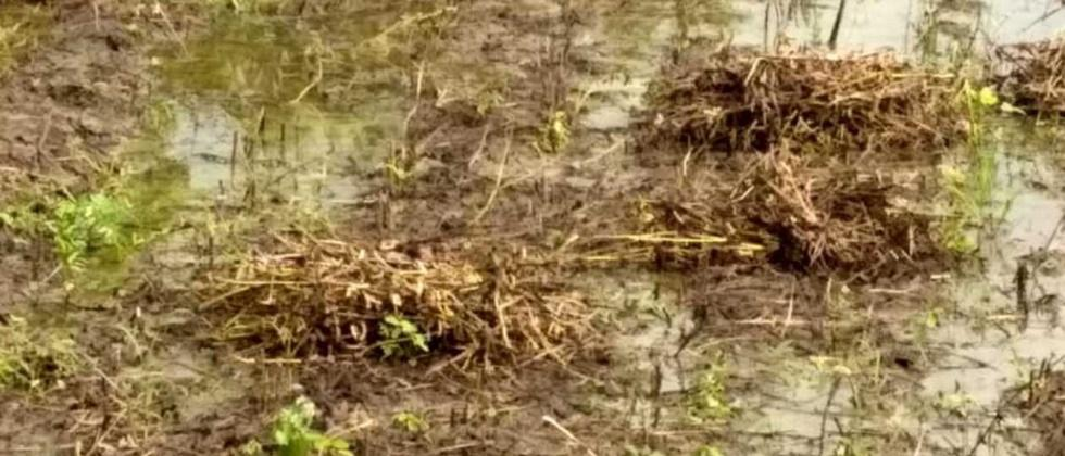 In Nanded, rains hit 83,000 hectares of crops