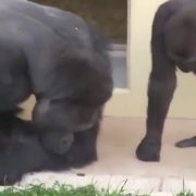 Silverback gorillas enthralled by caterpillar