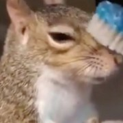 A squirrel enjoying a brush with a toothbrush