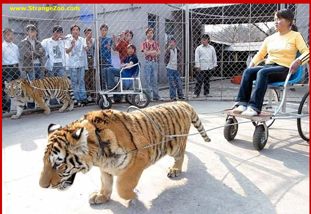 Have you seen a tiger cart in your life