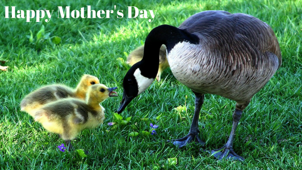 cute duck happy mother's day image with little ducks