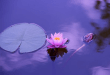 lotus natural wallpaper full hd