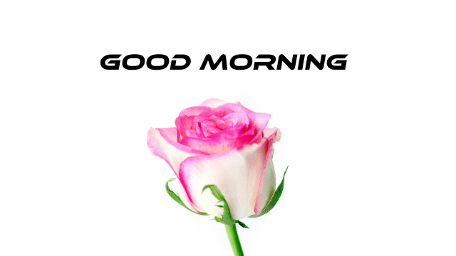 Good Morning Rose Images Download Red White Yellow Pink Hd Bunches
