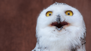 A fluffy, white own with yellow eyes making a shocked face.
