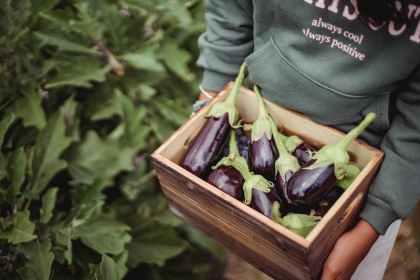 crop ethnic farmer with eggplants in box on plantation