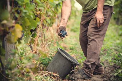 Vigneron picking grapes in a vineyard