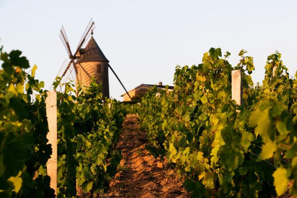 Le Moulin a Vent windmill in vineyards vines beaujolais social vignerons