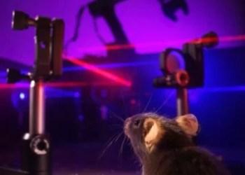 Uma interface óptica cérebro-máquina nova permite a comunicação bidirecional com o cérebro. Enquanto um braço robótico é controlado pela atividade neuronal gravada com imagens ópticas (laser vermelho), a posição do braço é alimentada de volta para o cérebro via microstimulação óptica (laser azul). Crédito:  Daniel Huber, UNIGE