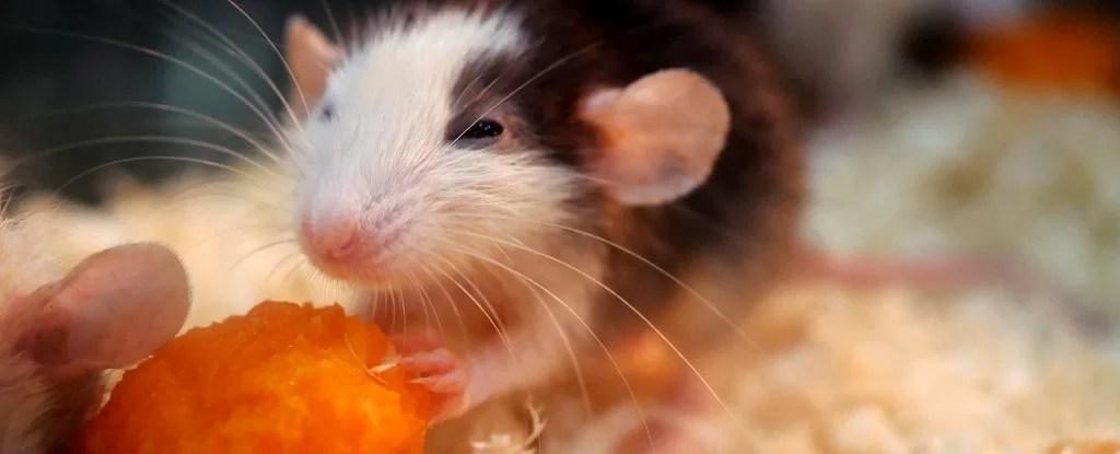 Cientistas curaram ratos alcoólatras disparando lasers em seus cérebros