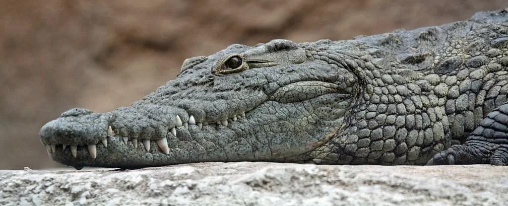 https://i1.wp.com/socientifica.com.br/wp-content/uploads/2019/07/Crocodilo.jpg?fit=1024%2C415&ssl=1