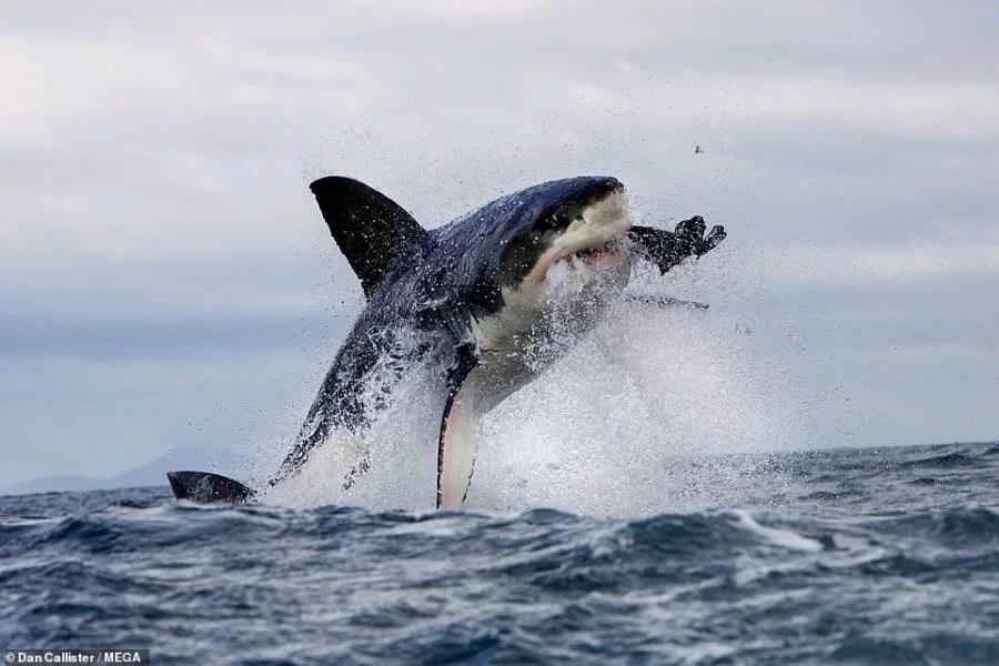 Tubarões brancos desistiram de lugar favorito após serem caçados por orcas