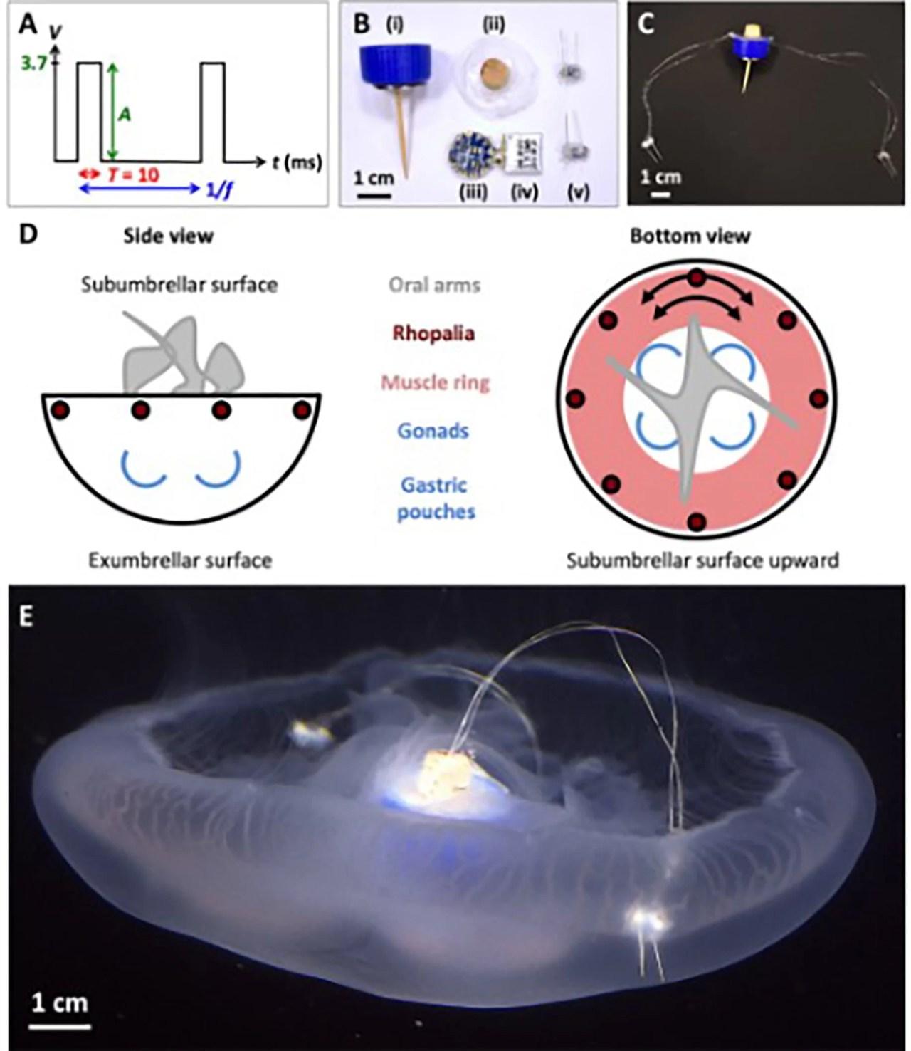 Figuras do documento mostrando como os cientistas transformaram água viva em um ciborgue.  Na imagem é possível observar os componentes do controlador e a construção concluída. (i) a tampa e o pino de madeira, (ii) é uma chumbada de cortiça e aço inoxidável para manter o gabinete flutuante, (iii) é um microprocessador com uma (iv) bateria conectada e (v) são dois eletrodos com LEDs. Captura de tela : Wu e Dabiri  (Science Advances, 2020)
