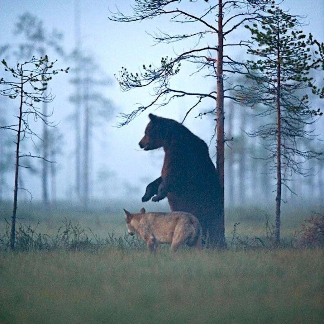 O fotógrafo Rautianien flagrou um urso pardo e um lobo, caçando, brincando e até compartilhando alimento em interação inédita na natureza