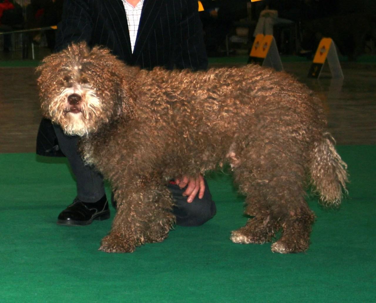 Cão d'água espanhol, estudo mostra que cães estão deprimidos