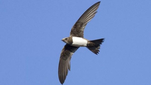 Estes pássaros podem voar por seis meses sem parar. (Imagem: Domínio Público)