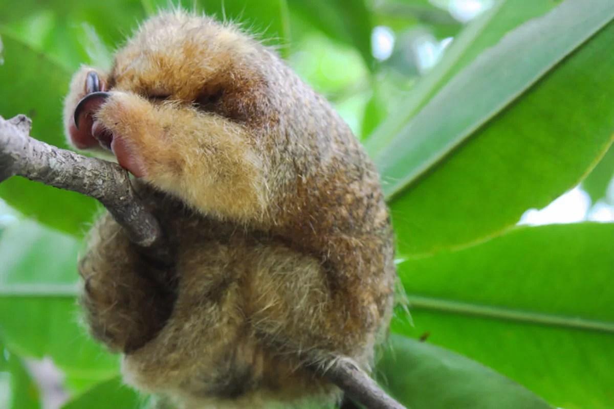 O menor tamanduá do mundo