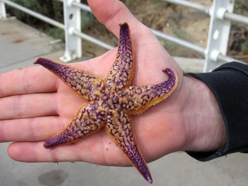 Estrela do mar espécie invasora