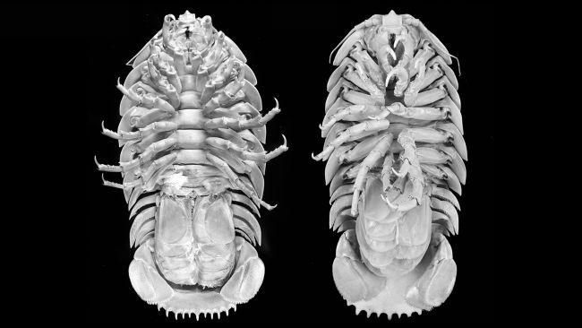 Live Science, https://www.livescience.com/supergiant-isopod-newfound-species.html