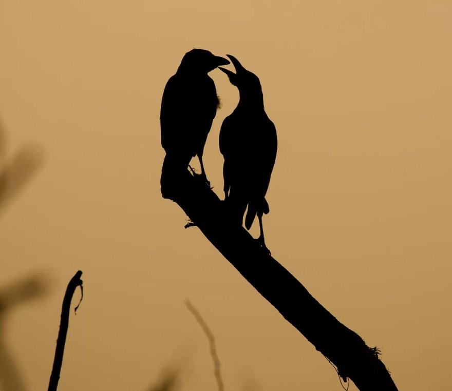 pássaros podem teorizar sobre a mente uns dos outros