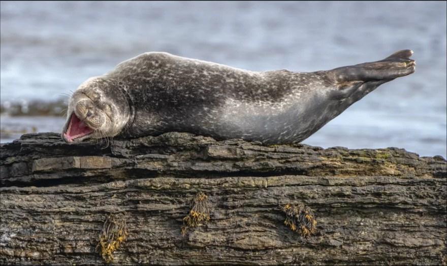 foca engraçada