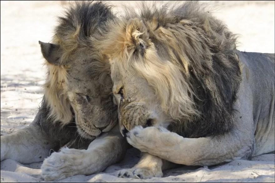 leões no deserto de Kalahari