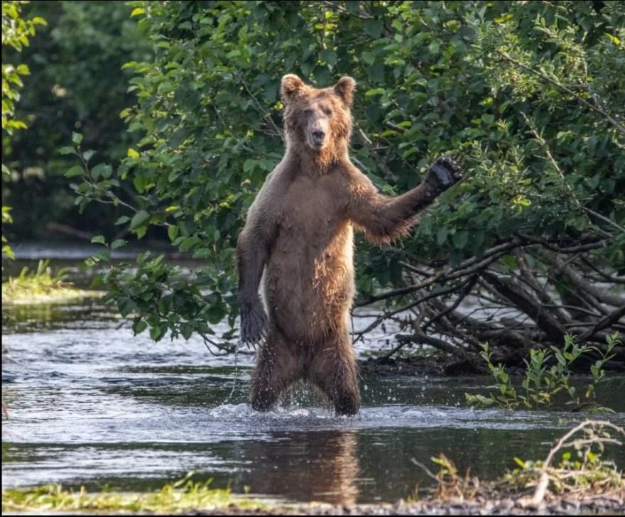 urso marrom dando oi
