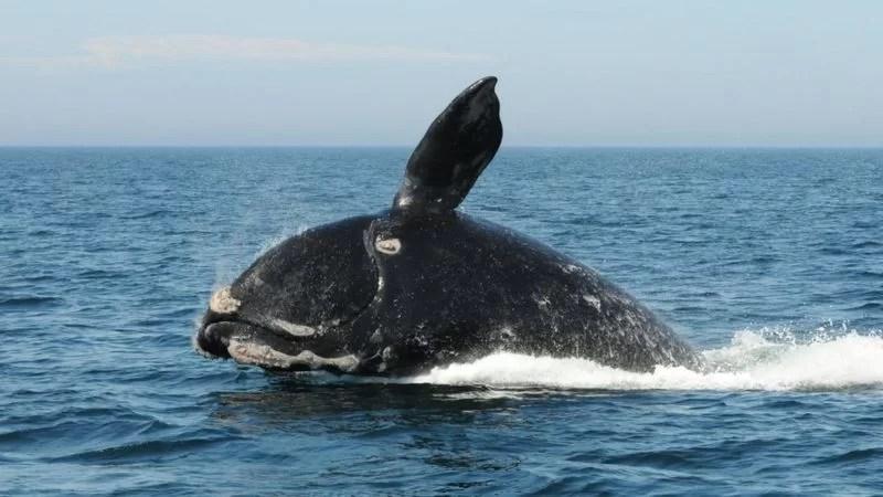 As baleias estão correndo risco próximo de extinção