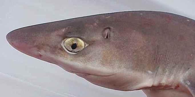 espiráculo de um tubarão