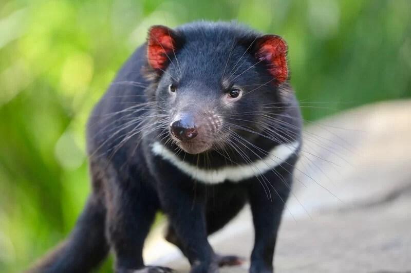 retorno do demônio tasmaniano