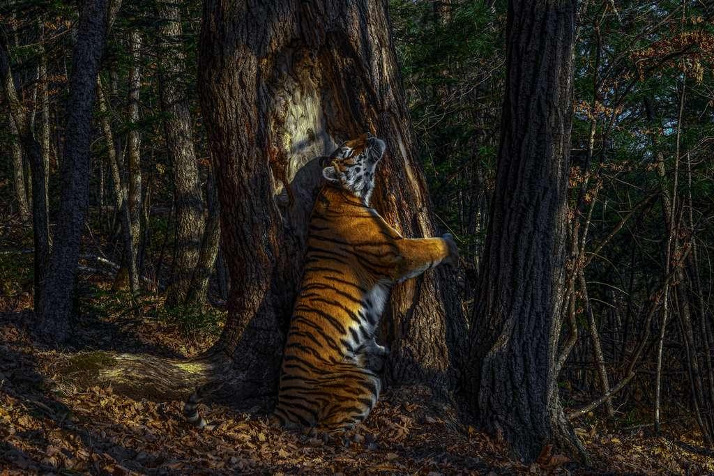 tigre siberiano no concurso Fotógrafo de Vida Selvagem do Ano