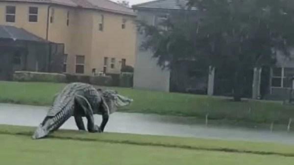 jacare enorme invade campo de golfe nos estados unidos