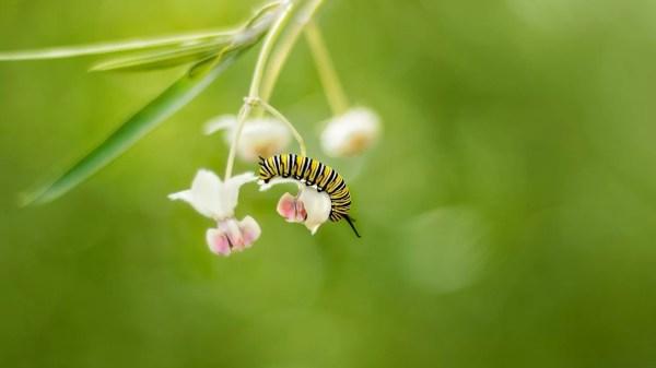 lagartas monarcas