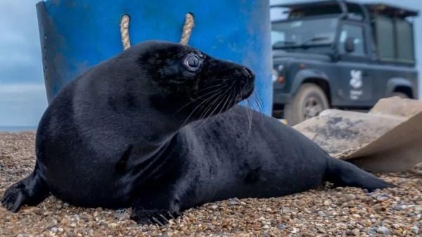 Filhotes de foca melanísticos extremamente raros