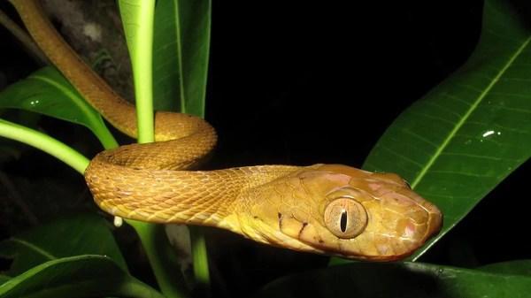 incrível tática de escalada de cobras de árvores