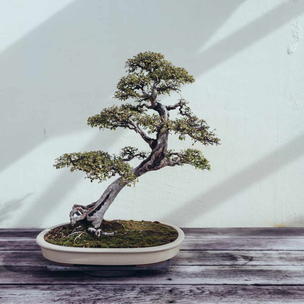 national-arboretum-bonsai-tree-980x980