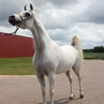 Building A Business And A Family Around Arabian Horses South County News