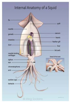 Squid Anatomy (Adobe Illustrator)
