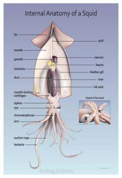 Squid Anatomy (Adobe Illustrator)