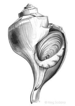 Channeled Whelk (ink)