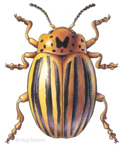 Potato Beetle (watercolor, colored pencil)