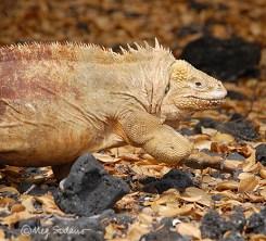 Land iguana at Isabela