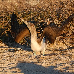 Blue-footed booby skypointing