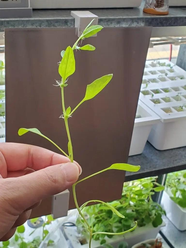 水耕栽培 雑草