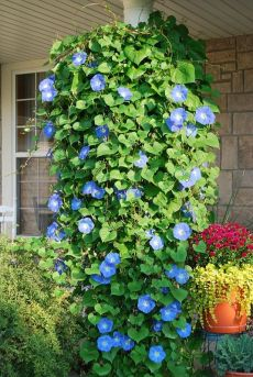 Heavenly Blue Morning Glories..put in a hanging pot and they will grow down wards.