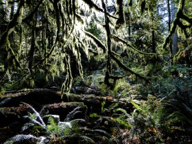 Moss and ferns - Cathedral Grove