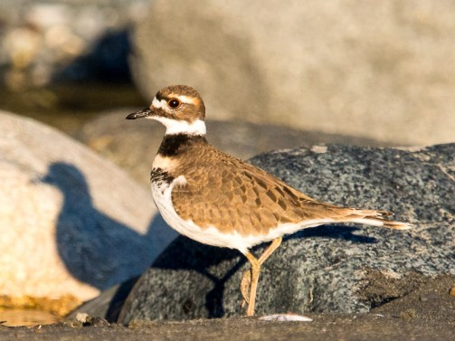 The killdeer is a common type of plover, named after its call.