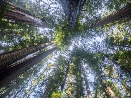 The oldest living redwood trees are about 2000 years old. The network of state and national parks that now protect this species were created piecemeal, starting in the 1920s, with Redwood National Park only established in 1968.
